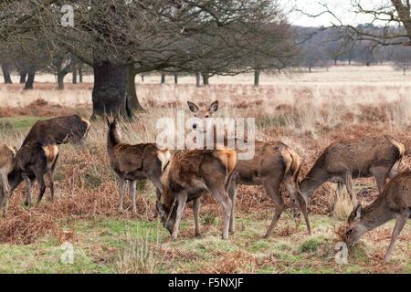 A herd of deer in the autumn season in Richmond Park, UK - Stock Photo