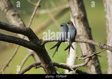 Treeswift species Hemiprocne coronata and Merops leschenaulti - Stock Photo