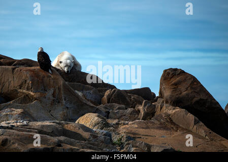 Polar Bear adult (Ursus maritimus) lying on rocks with Bald Eagle (Haliaeetus leucocephalus) Churchill, Manitoba, - Stock Photo