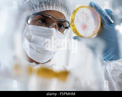 Scientist wearing protective clothing whilst viewing bacteria cultures growing in petri dishes in a laboratory. - Stock Photo