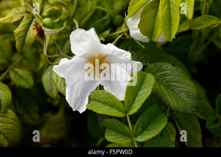rosa canina dogrose rose hip hips white roses flowers flower wildflower wildlflowers green leaves foliage RM Floral - Stock Photo