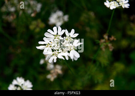 orlaya grandiflora White lace flower umbellifer flowers flowering wildflower RM Floral - Stock Photo