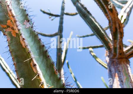 Green cactus against blue sky close up, Portugal, Madeira - Stock Photo