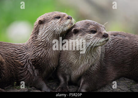 A couple of cuddly, Asian Short-Clawed Otters - Stock Photo