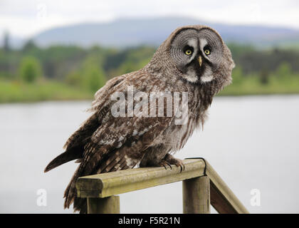 Great Grey Owl or Great Gray Owl, perched on a wooden fence - Stock Photo