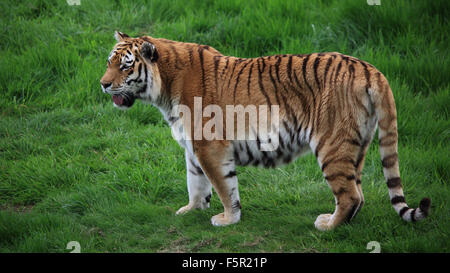 A beautiful Amur Tiger, also known as Siberian Tiger standing on green grass - Stock Photo