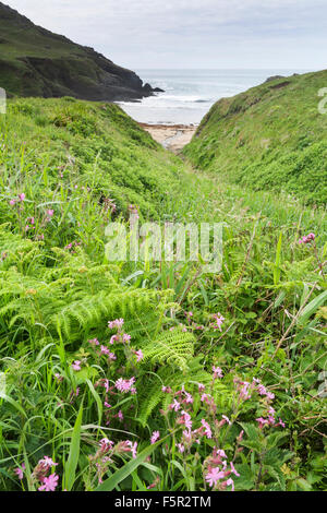 Red Campion, Silene dioica, growing wild in a cove by the sea in Devon. - Stock Photo