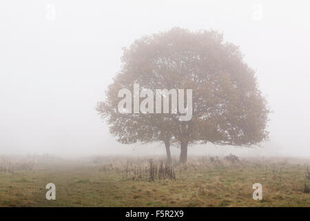 Two small oak trees stand in the fog on Castlemorton common, Worcestershire - Stock Photo