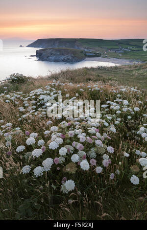 Common hogweed, Heracleum sphondylium, on the cliffs overlooking Church Cove, Cornwall, at sunset. - Stock Photo