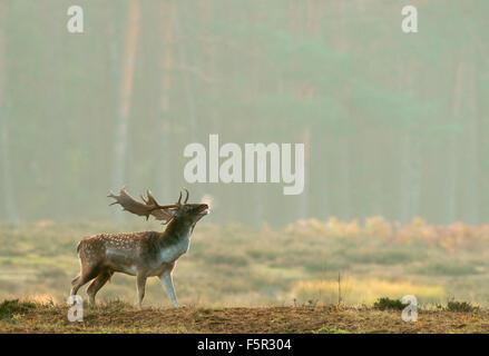 Fallow deer (Dama dama) buck during the rut, Hesse, Germany - Stock Photo