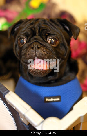 Milton Keynes, UK. 8th November 2015. Gorgeous George the Pug at the Muffin Pug charity 1st anniversary party, Milton, - Stock Photo