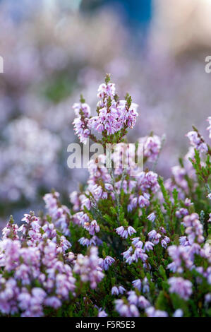 Heather, Calluna vulgaris, in full bloom on upland moor, Lancashire, UK. - Stock Photo