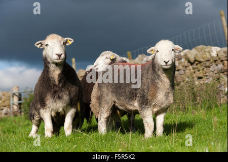 Herdwick ewes and lambs on pasture, Cumbria, UK - Stock Photo