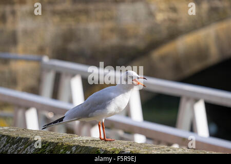 Adult black headed gull in non-breeding plumage has white head with blackish spots on the side of the head. - Stock Photo