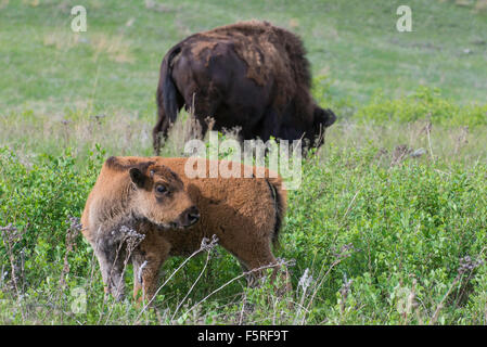American Bison (Bison bison) with calf, Western USA - Stock Photo