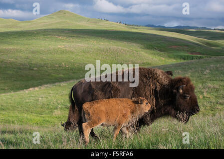 American Bison (Bison bison) adult with calf, Western USA - Stock Photo
