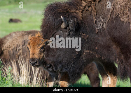American Bison (Bison bison) mother and calf, Western USA - Stock Photo