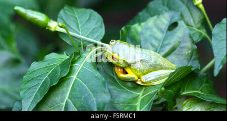 a tropical green frog on chilli bush - Stock Photo