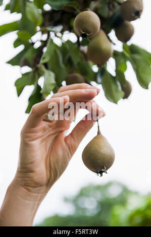 Sweden, Stockholm, Djurgarden, Rosendals Tradgard, Hand holding pear - Stock Photo