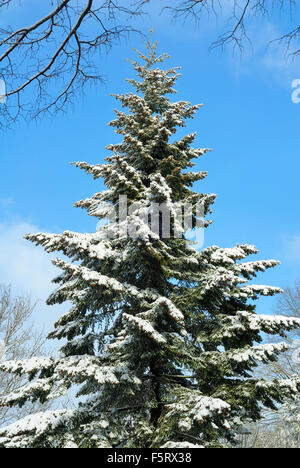 Outdoor shot of a tall snow-covered fir tree in front of the nice blue sky - Stock Photo