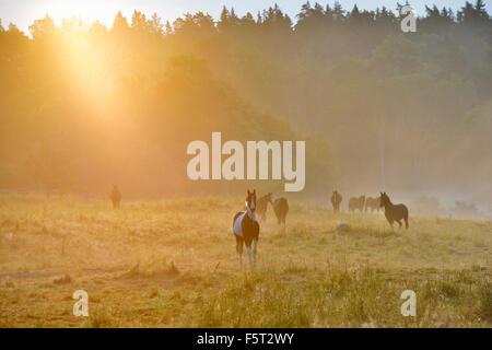 Sweden, Uppland, Lidingo, View of horses (Equus ferus caballus) in meadow at sunrise - Stock Photo