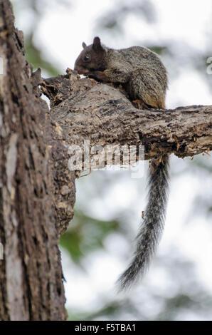 Guayaquil Squirrel (Sciurus stramineus) - Stock Photo