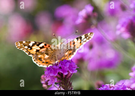 Painted Lady Butterfly feeding on flowers, Vanessa cardui - Stock Photo