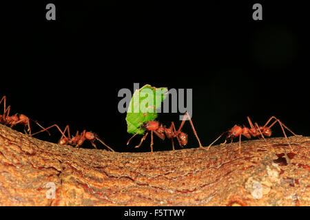 Leafcutter ants (Atta sexdens) transporting cut leaves, group, found in Central America and South America, captive - Stock Photo