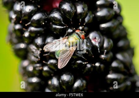 Common green bottle fly (Lucilia sericata) sitting on Indian pokeweed (Phytolacca acinosa) fruits, North Rhine-Westphalia - Stock Photo
