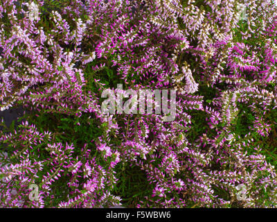 closeup of the heathers - shallow depth of field - Stock Photo