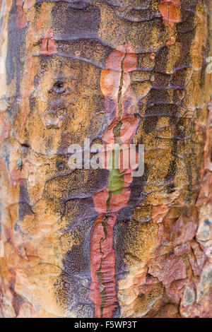 Peeling bark of Acer griseum in winter. - Stock Photo