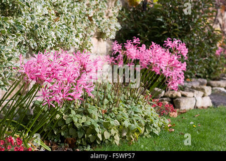 Nerine bowdenii growing at base of a wall. - Stock Photo