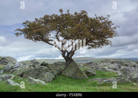 Stunted Hawthorn Tree growing through Limestone at Norber Brow, Austwick, Craven District, Yorkshire Dales, North - Stock Photo
