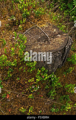 Cowberry near a stub in the wood. - Stock Photo