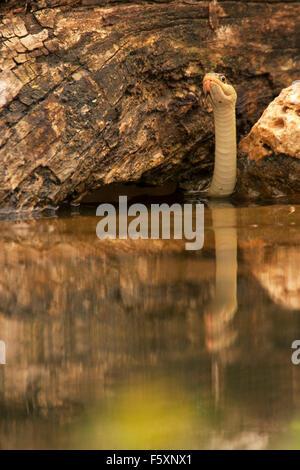 Western Ribbon Snake hunting in pond. (Thamnophis proximus orarius) - Stock Photo