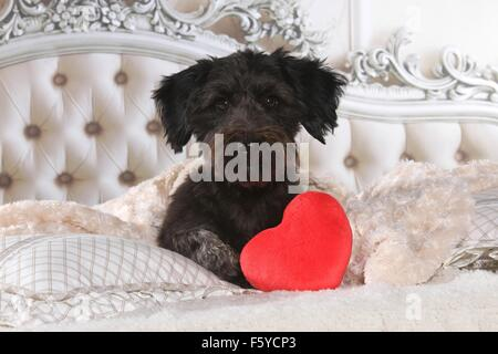 Dachshund-Mongrel in bed - Stock Photo
