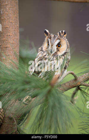 Long Eared Owl; Asio otus; UK - Stock Photo