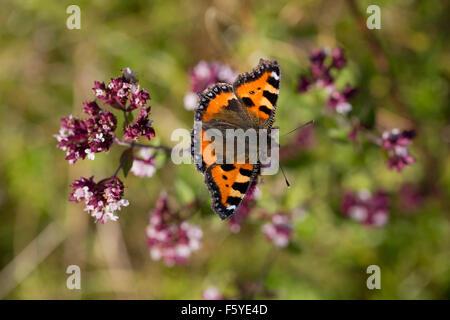 Small Tortoiseshell Butterfly; Aglais urticae Single on Flower; Cornwall; UK - Stock Photo
