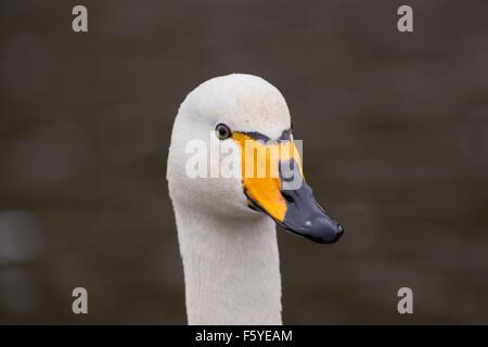 Whooper Swan; Cygnus cygnus Single Portrait; Cornwall; UK - Stock Photo