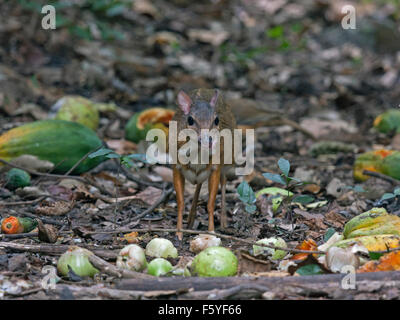 A timid Lesser Mouse Deer eating fruit on the forest floor in Western Thailand