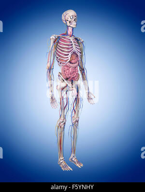 medically accurate illustration of the human anatomy - Stock Photo