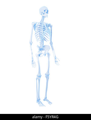 medically accurate illustration of the human skeleton - Stock Photo