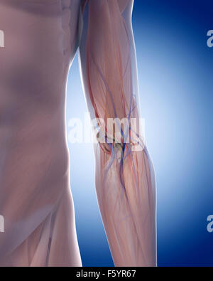 medically accurate illustration of the elbow anatomy - Stock Photo