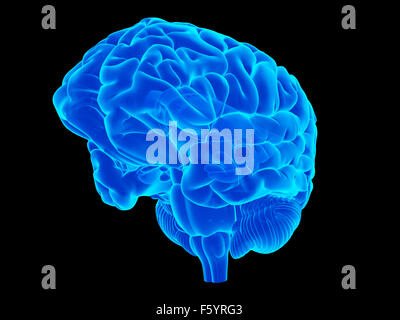 medically accurate illustration of the human brain - Stock Photo