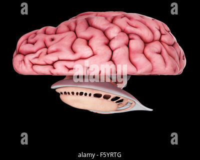 medically accurate illustration of the brain anatomy - Stock Photo