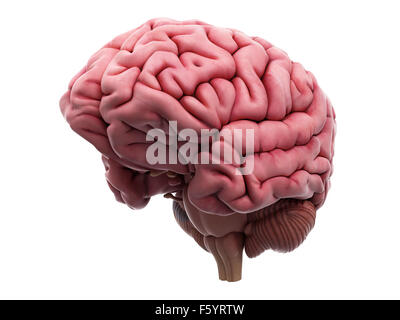 medically accurate illustration of the brain - Stock Photo