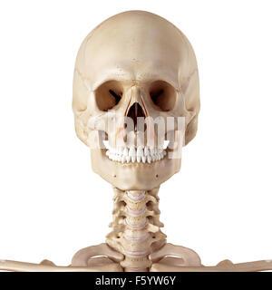 medical accurate illustration of the levator labii superioris alaeque nasi - Stock Photo