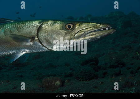 Close up of a Great Baracuda, Sphyraena barracuda, swimming over volcanic sand beach at Tulamben, Bali - Stock Photo
