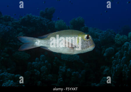 Humpnose big-eye Bream, Monotaxis grandoculis, on coral reef in Marsa Alam, Egypt - Stock Photo