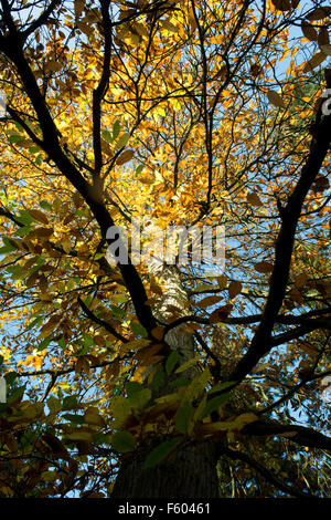 Castanea sativa. Sweet chestnut tree with autumn foliage and blue sky. UK - Stock Photo